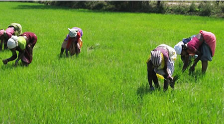 Rice will to sell for N6,000 per bag – Farmers assure
